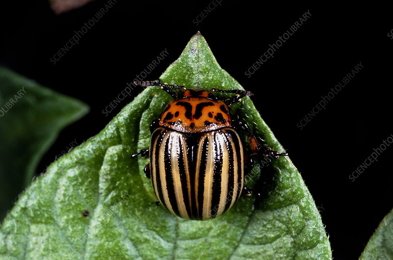 Potato-beetle, Leptinotarsa, on a potato leaf