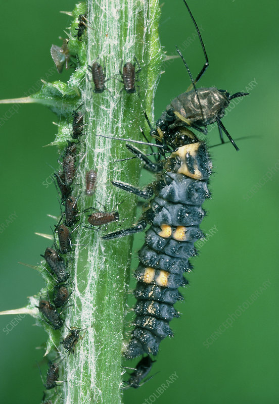 Larva of the ladybird beetle eating aphids