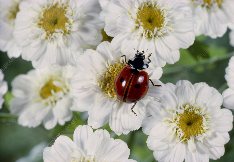 Seven-spot ladybird beetle on camomile flowers
