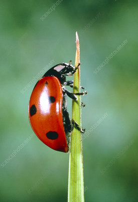 Ladybird beetle on blade of grass before take-off