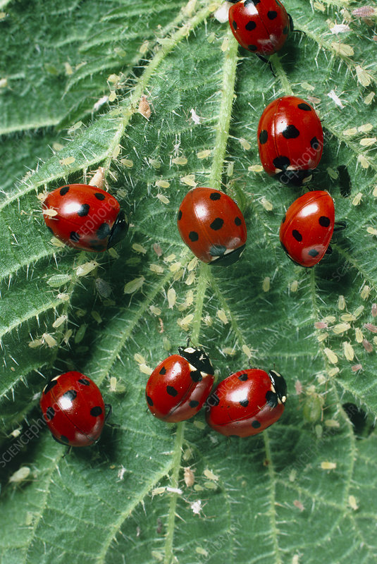 Ladybird beetles eating aphids on a nettle leaf
