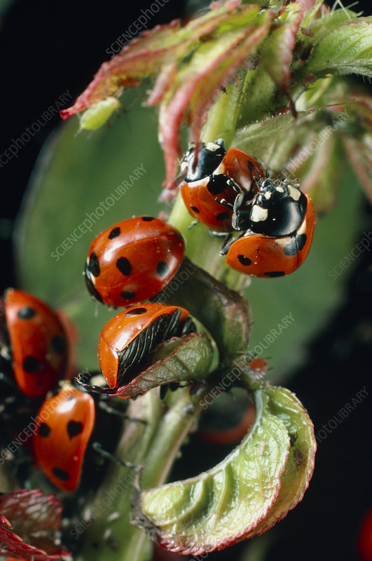 Ladybird beetles mating on a rose stem