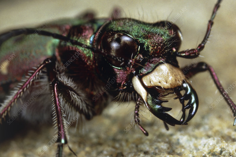 Head of the tiger beetle, Cicindela campestris