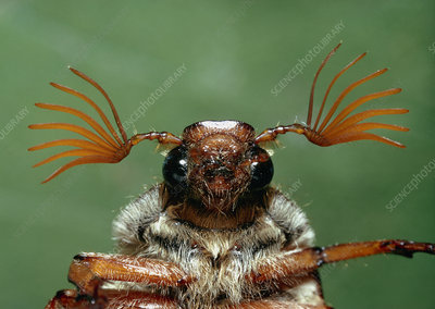 Head of a male June beetle, Melolontha melolontha