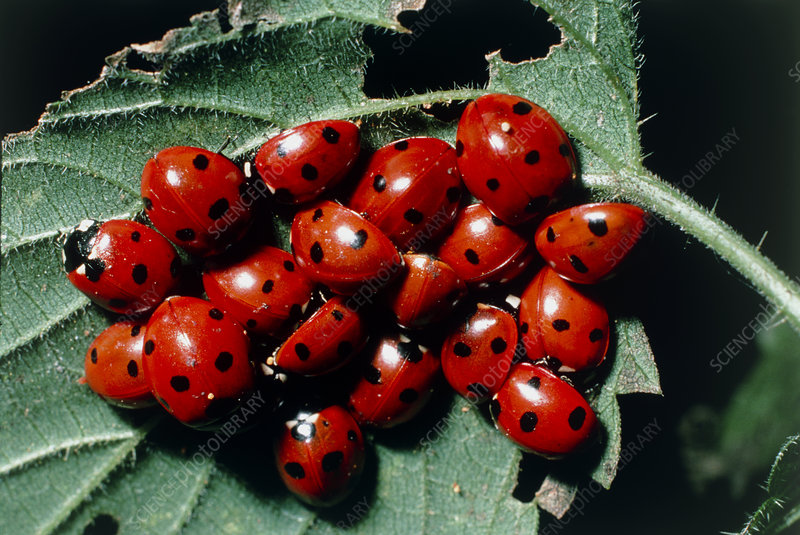 Cluster of ladybird beetles hibernating under leaf