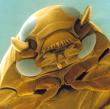 Head of a whirligig beetle, SEM