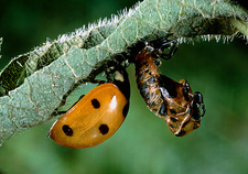 Macrophoto of a ladybird beetle metamorphosising
