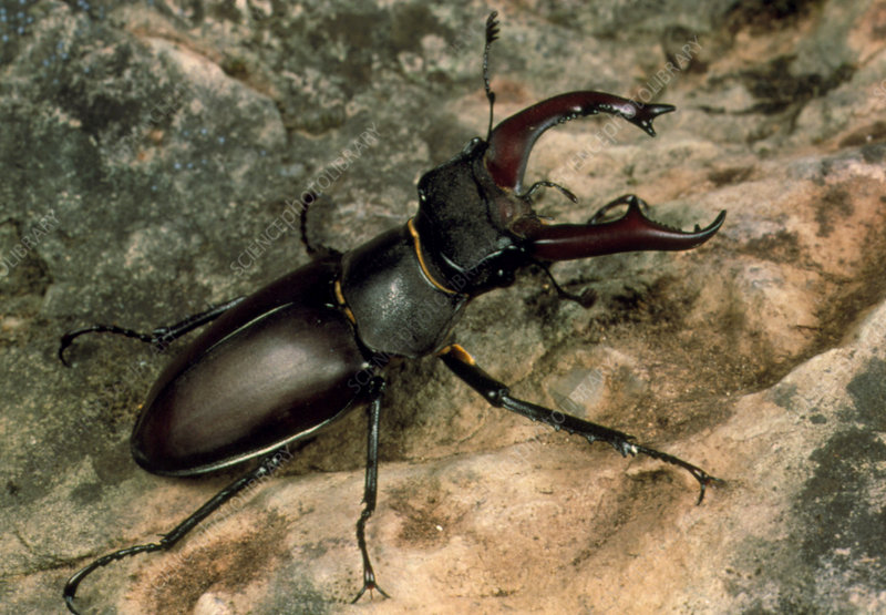 Macrophoto of a stag beetle