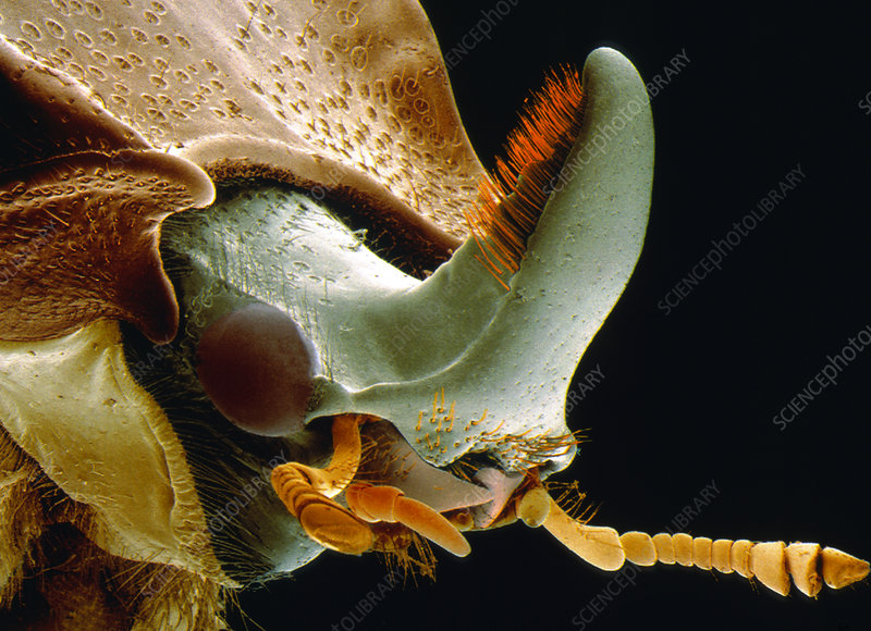 Coloured SEM of the head of beetle Sinodendron sp.