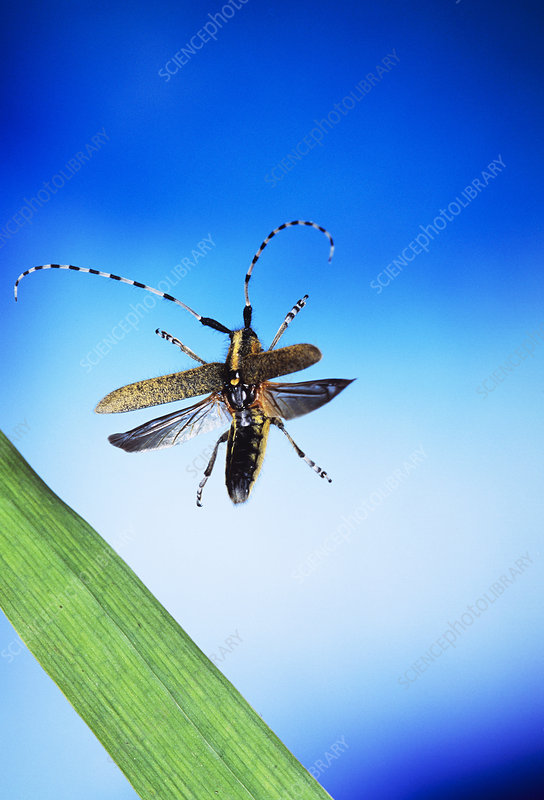 High-speed photo of a longhorned beetle in flight