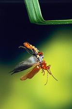 High-speed photo of a soldier beetle in flight