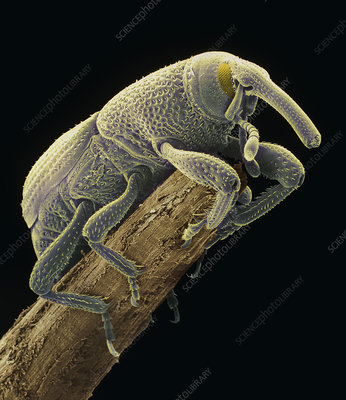 Coloured SEM of a grain weevil, Sitophilus