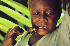 Indonesian boy eating barbequed sago grubs