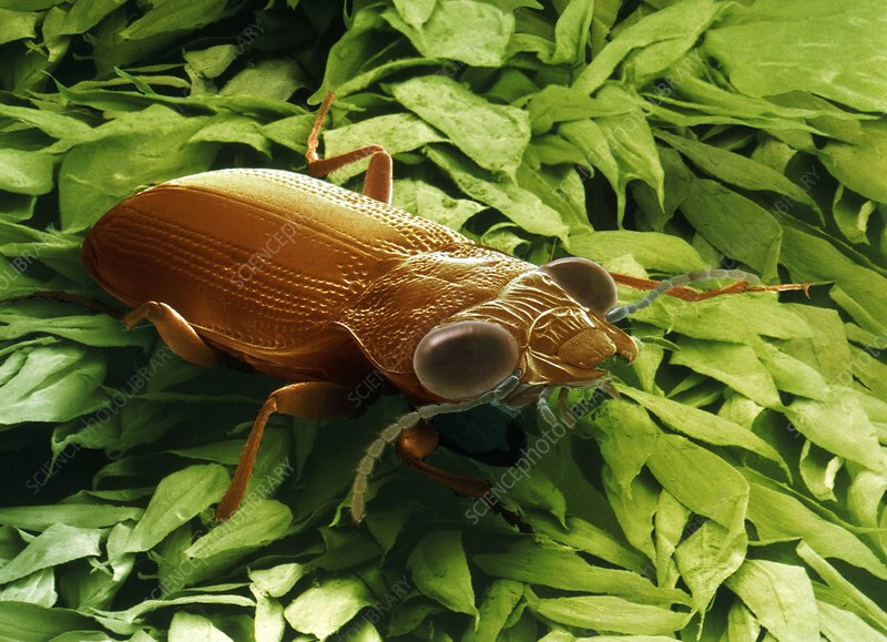 Garden ground beetle, SEM