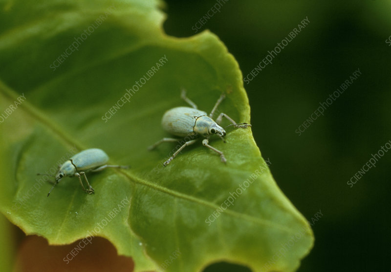 Blue-green weevils