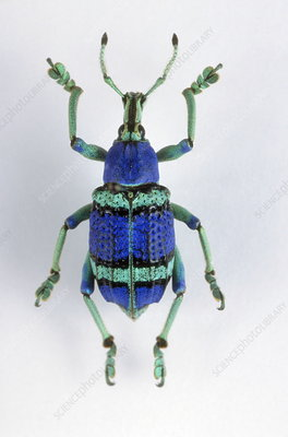 Painted weevil