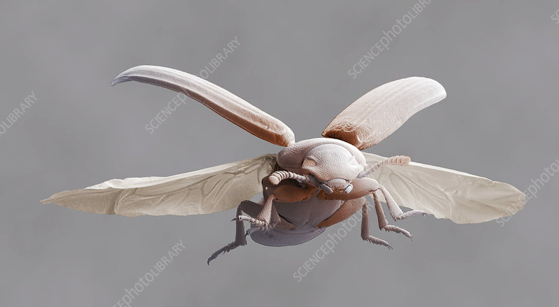 Red flour beetle in flight