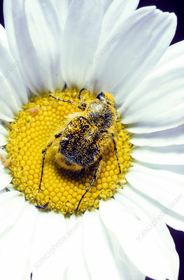 Flower Beetle with Pollen