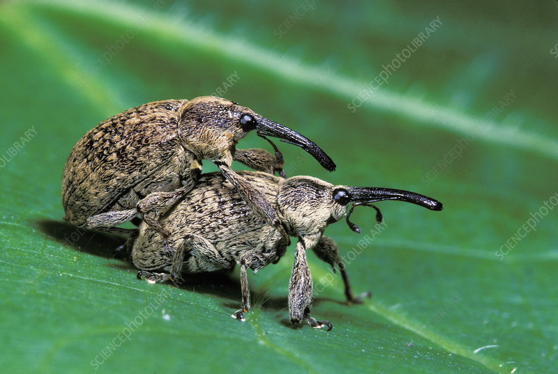 Cotton weevils mating