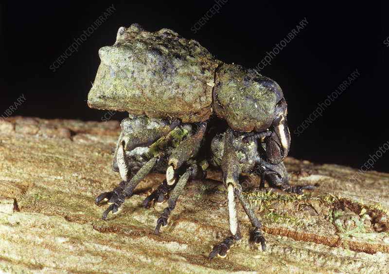 Mating weevils