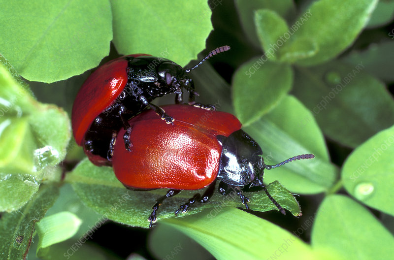 Poplar leaf beetles mating