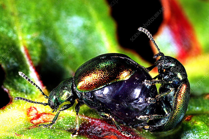 Dock leaf beetles mating