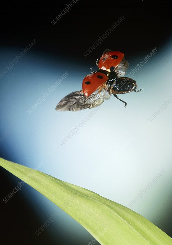 Ladybird in flight, high-speed photograph
