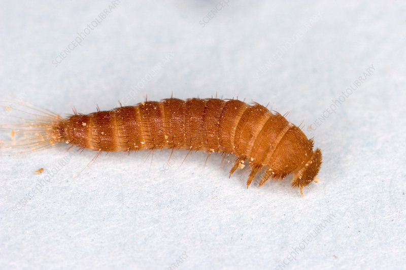 Larva of Black Carpet Beetle