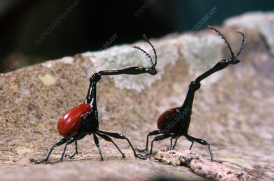Giraffe Beetles