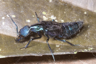 Rove Beetle (Family Staphylinidae)