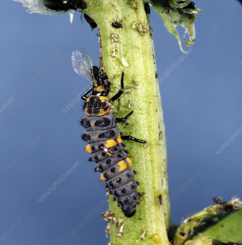 Ladybird larva eating aphid