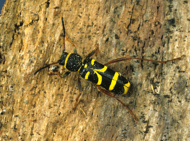 Wasp beetle on bark