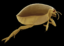 Male great diving beetle, SEM