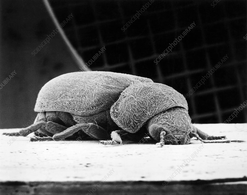 SEM of deathwatch beetle Xestobium