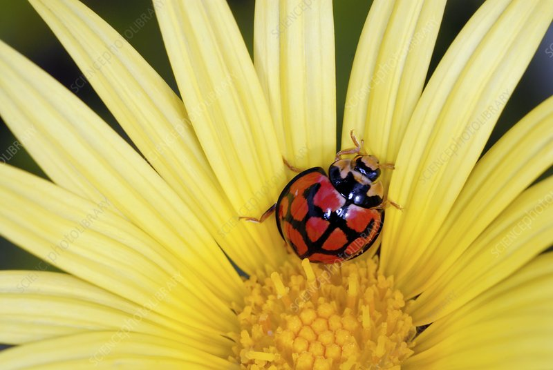 African ladybird in a yellow daisy