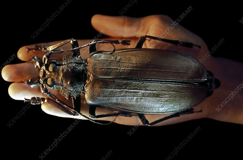 http://www.sciencephoto.com/images/download_wm_image.html/Z330829-Titan_beetle-SPL.jpg?id=903300829