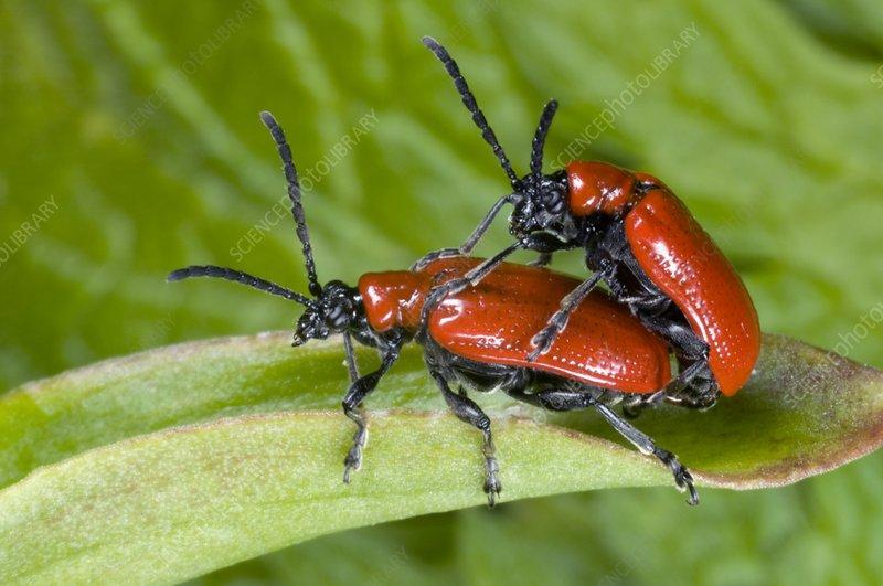 Lily beetles mating