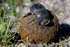Flightless dung beetle with dung ball