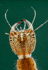 Larva of the Great Water beetle