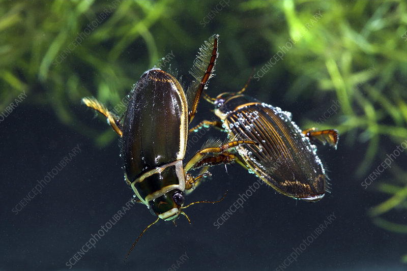Great diving beetles mating