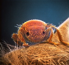 False-col SEM of Braula, a parasitic wingless fly