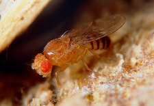Fruitfly Drosophila Sp on mouldy carot