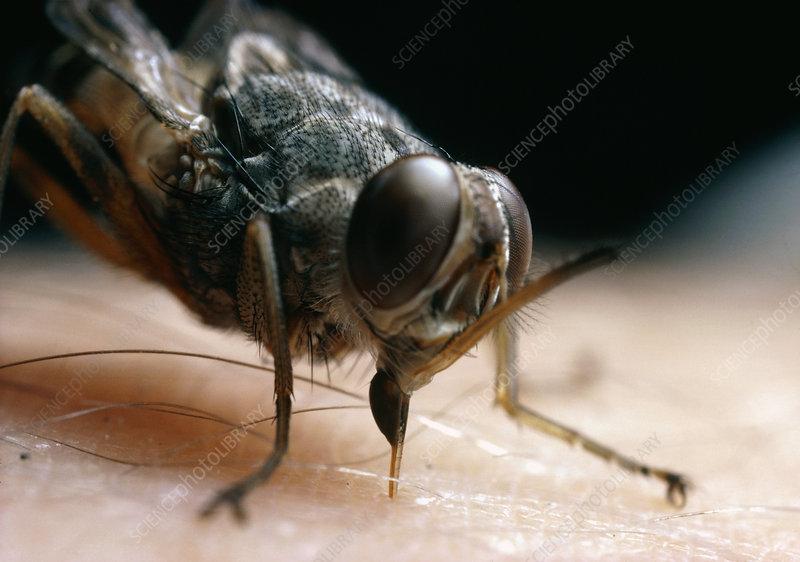 external image Z3400042-Macrophotograph_of_a_tsetse_fly_feeding.-SPL.jpg