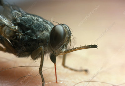 Macrophotograph of a tsetse fly feeding