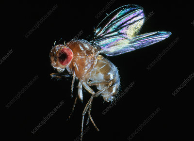 Sanning macrograph of a fruit fly, Drosophila sp.