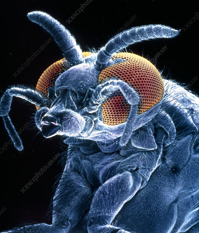 SEM of the black fly