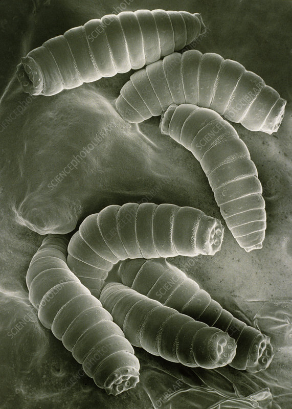 SEM of maggots of the green blow fly