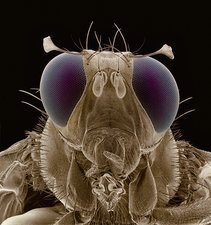 F col SEM of male mediterranean fruit fly