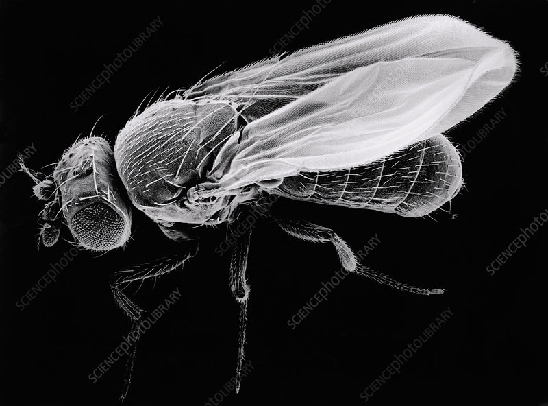 SEM of fruit fly Drosophila melanogaster