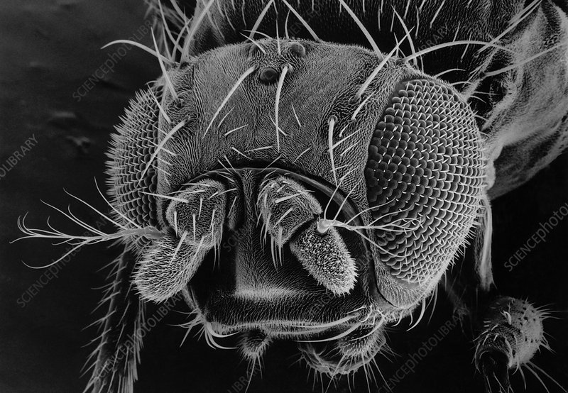 Head of a fruit fly